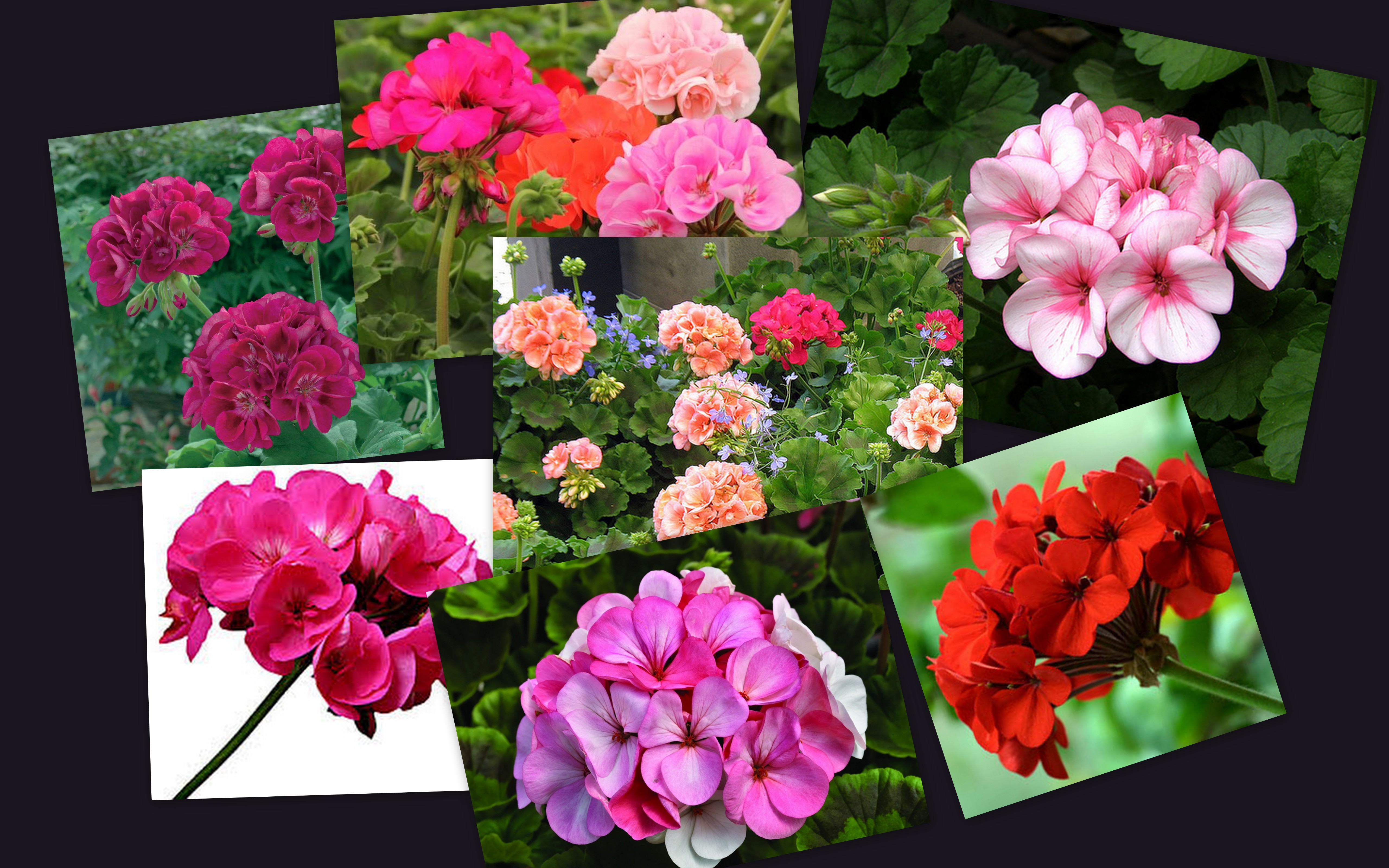 how to make geraniums fuller