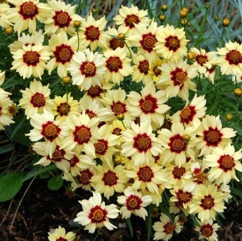 Coreopsis-Autumn-Blush-1024x512